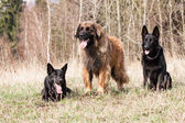 Leonberger with Black German Shepherd — Stock Photo