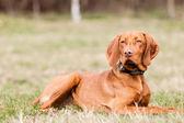Hungarian hound dog — Stock Photo