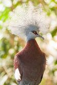 Southern crowned-pigeon, Goura scheepmakeri, single captive  — Stock Photo