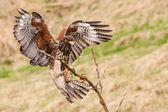 Buzzard bird — Foto de Stock