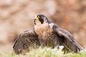 Peregrine bird — Foto de Stock