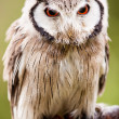 Northern White-faced Owl Otus leucotis — Stock Photo #45910615