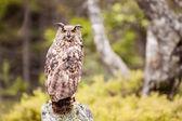 Eagle Owl Bubo Bubo — Stock fotografie