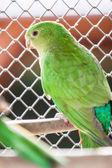 The Australian King Parrot aka muaiz Alisterus scapularis — Foto de Stock