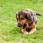 Mutt of puppy german shepherd dog — Stock Photo