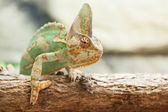 A veiled chameleon lizard — Stock Photo