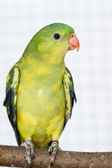 The Regent Parrot (Polytelis anthopeplus) — Foto Stock