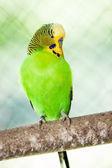 The budgerigar (Melopsittacus undulatus) — Stock Photo