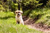 Leonberger dog puppy — Stock Photo