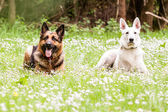 German shepherd dog with White Swiss Shepherd — Stock Photo
