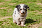 Mutt of Maltese dog — Stock Photo