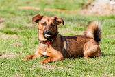 Mutt of dachshund dog — Stock Photo