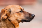 Mutt Rhodesian ridgeback — Stock Photo
