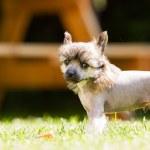 Chinese crested dog — Stock Photo #51017247