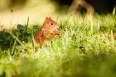 Ginger squirrel with nut — Stock Photo