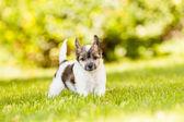 Chiński grzywacz psa — Zdjęcie stockowe