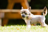 中国凤头的狗 — 图库照片