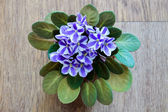 Chimera Violet on a wooden backround — Stock Photo