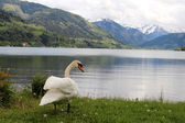 Swan in the Alps — Stock Photo
