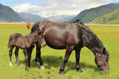 Horses in the Alps — Stock Photo