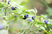 Blueberries — Stockfoto