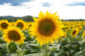 Field of blooming sunflowers on a background sunset — Stock Photo