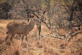 Kudu Antelope, South Africa — Stock Photo