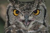 Close-up de coruja de olhos brilhantes — Fotografia Stock