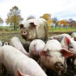 Stock Photo: Swine family