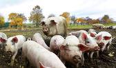 Swine family — Stock Photo