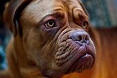 Dogue de Bordeaux — Stock Photo