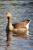 Pato en el lago — Stock Photo