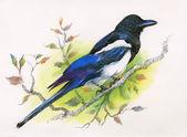 Watercolor magpie — Stock Photo