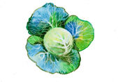 Watercolor Cabbage — Stock Photo