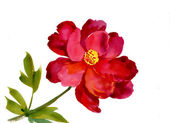 Watercolor red flower — Photo