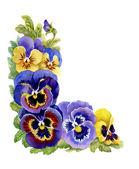 Tricolor violets — Stock Photo