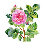 Pink rose bud with green leaves — Stock Photo