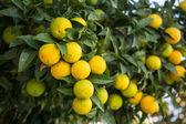 Organic orange tree. — Stock Photo