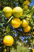Organic orange tree. — Stok fotoğraf