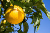 Organic orange tree. — Stock Photo