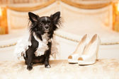 Funny dog of the bride in a white wedding dress — Stock Photo