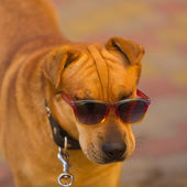 Funny dog in red sunglasses in summer day — Stock Photo