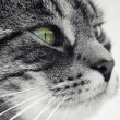 Stock Photo: Portrait beautiful cat