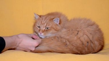 Funny ginger cat — Stock Video
