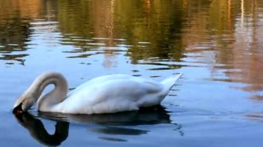 White swan swimming in a pond — Vidéo