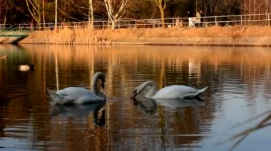 Two white swans eat bread in the pond — Wideo stockowe
