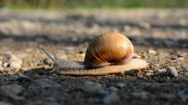 Snail slowly crawling along the ground — Stock Video