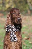 Cute Irish Setter — Stock Photo