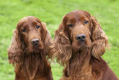 Irish red setter-paar — Stockfoto
