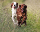 Irish Setters running — Stock Photo